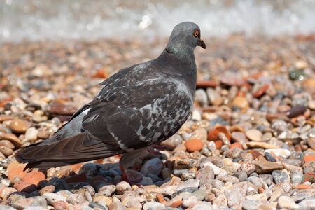 Pigeon on the pebble beach photo