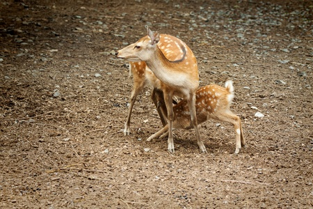 white tail deer: Doe nursing her young fawn