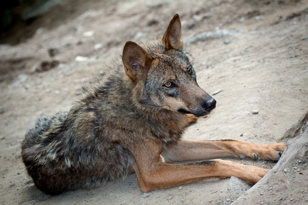 timber wolf: Lying wild wolf in the wild Stock Photo