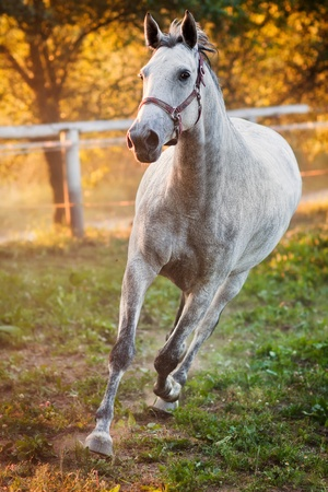 Portrait of a running horse photo