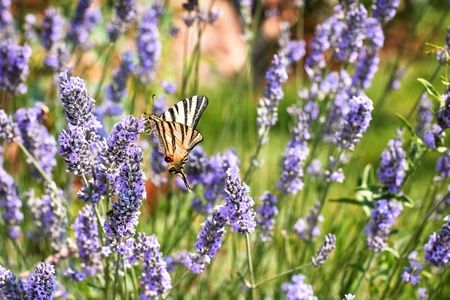 pieridae: Beauty butterfly on lavender flower