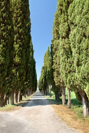 Cypress alley in Tuscany, Italy. photo