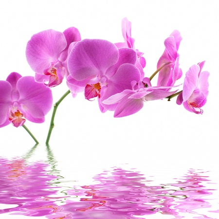Pink Orchid on white background with reflection photo