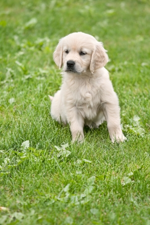 Small puppy with ball - golden retriver photo