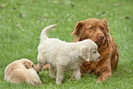 Two puppies golden retriever playing with a big dog photo