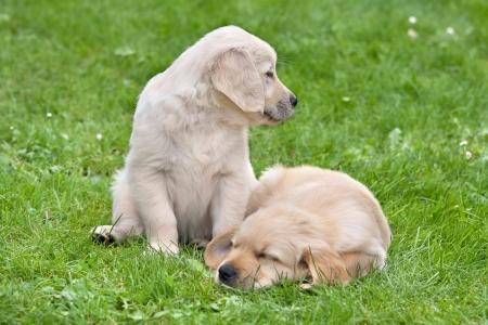 animalitos tiernos: Dos pequeños cachorros golden retriever