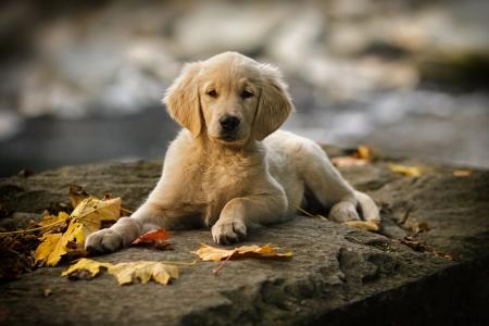 Purebred puppy golden retriever ten weeks old  Stock Photo