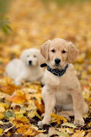 Close up look - puppy golden retriever very small focus Stock Photo