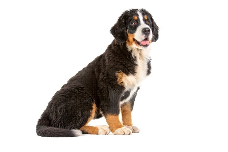 berner:  Puppy bernese mountain dog - 4 months (berner sennenhund, bernois)   Stock Photo