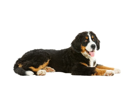 bernese dog:  Puppy bernese mountain dog - 4 months (berner sennenhund, bernois)   Stock Photo