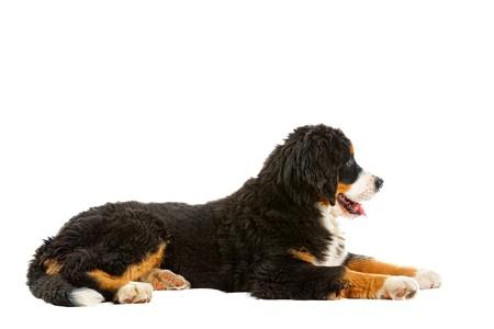 bernese dog:  Puppy bernese mountain dog - 4 months (berner sennenhund, bernois)