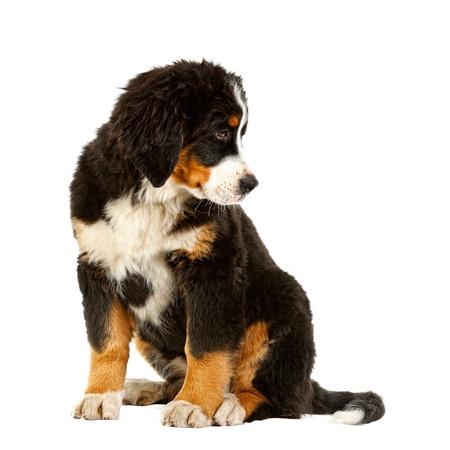 bernese:  Puppy bernese mountain dog - 4 months (berner sennenhund, bernois)