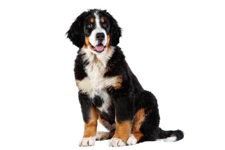 sennenhund:  Puppy bernese mountain dog - 4 months (berner sennenhund, bernois)
