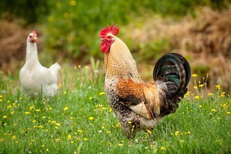 haan en kippen op tne groen gras