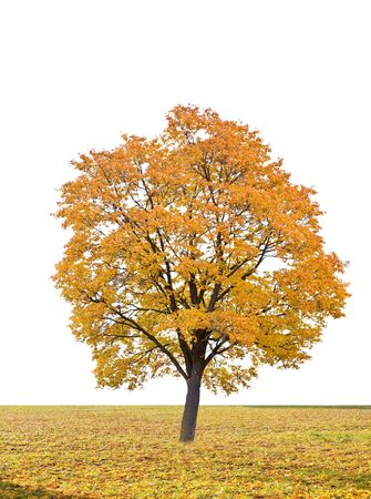 tree canopy: autumn tree in a white background  on field