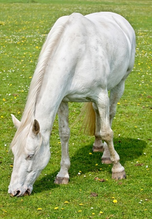 White horse on freshly pasture photo