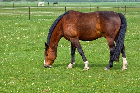 Brown horse on freshly pasture