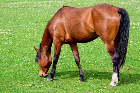 ungulates: Brown horse on freshly pasture