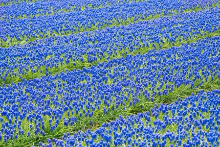 A bed of blue common grape hyacinths photo