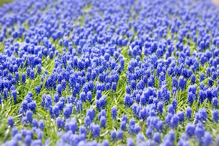 A bed of blue common hyacinths Stock Photo