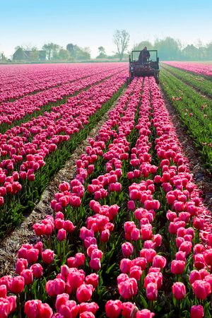 afield: tractor afield that the truncated tulip