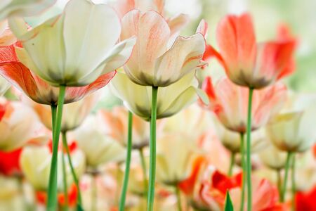 Close-up color tulips - selective focus Stock Photo - 13220638
