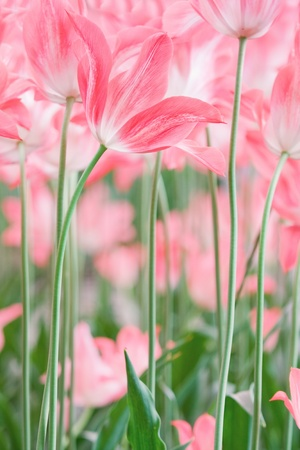 bulb tulip: Beautiful spring tulips in garden