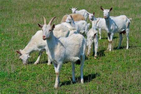 Goats on the goat farm  photo