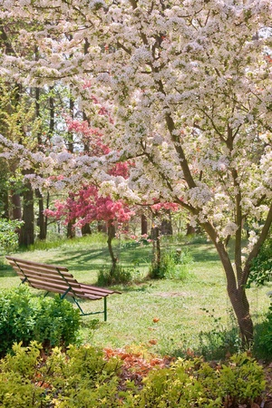 beauty tree in bloom with bench on spring Reklamní fotografie