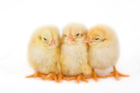 Sweet Easter chicks isolated on white photo
