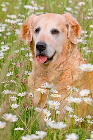 Retriever on meadow of full flowers photo