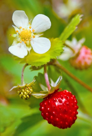 Closeup of a wild strawberry with berries and florets photo