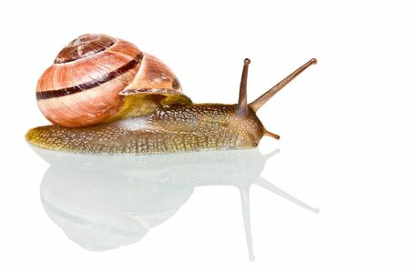 disgusting: Garden snail in front of a white background, studio shot