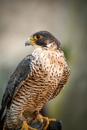 prey: Birds Predator - Peregrine Falcon (Falco peregrinus) Stock Photo