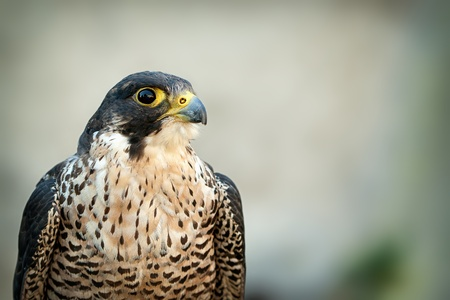 talons: Birds Predator - Peregrine Falcon (Falco peregrinus) Stock Photo