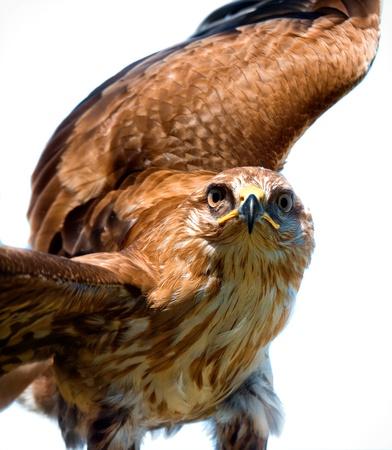 ファルコン: 白い背景上の鷹の肖像画