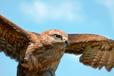 swift: Portrait hawk on falconer gloves and blue sky Stock Photo