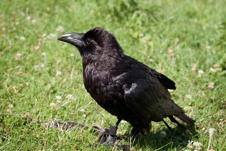tame: cuervo amaestrado sentada sobre la hierba