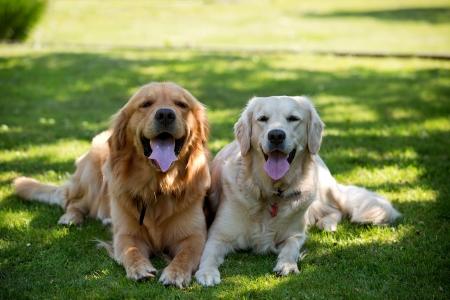 Close Up pair of purebred playful golden retriever dogs outdoors on green grass Foto de archivo