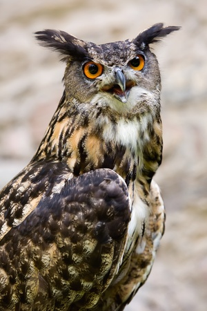 aquila: Close up of the head of a beautiful owl Stock Photo