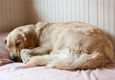 Dog sleeping on the bed - golden retriever photo