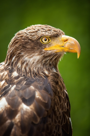 Close up of the head of a beautiful eagle, crossing of steppe and golden eagle with emphasis on the eagles eye.  photo