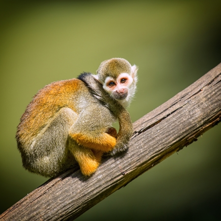 monkey in a tree: A small monkey sitting on a tree branch  Stock Photo