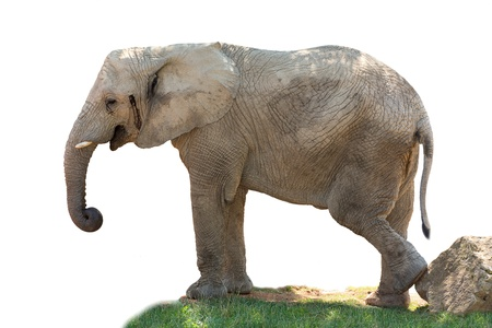 Elephant standing on the grass with isolated background Stock Photo - 15518106