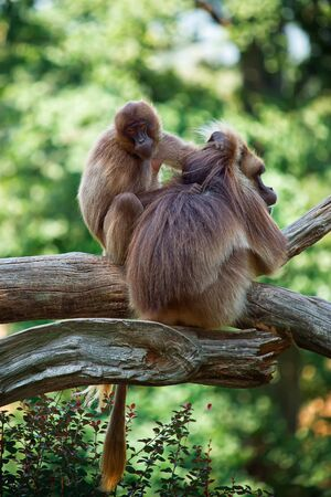 Two monkeys taking care of your hair photo
