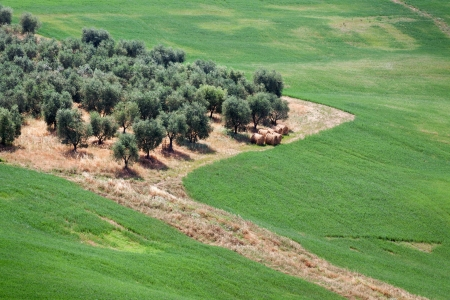 Olive grove in Tuscany, Italy photo