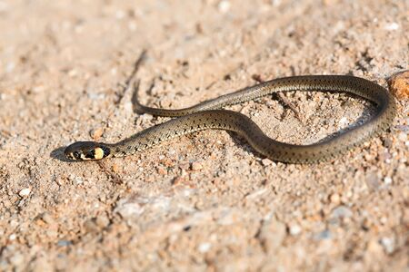 slither: Young Grass Snake on the warm gravel Stock Photo
