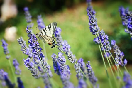 named: butterfly named  Scarce Swallowtail  in floral ambiance