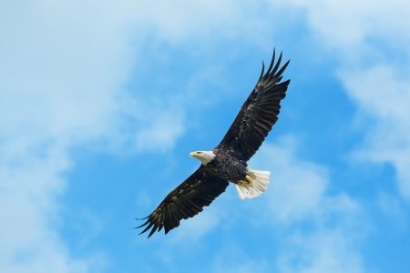 prey: American bald eagle circling in the air Stock Photo