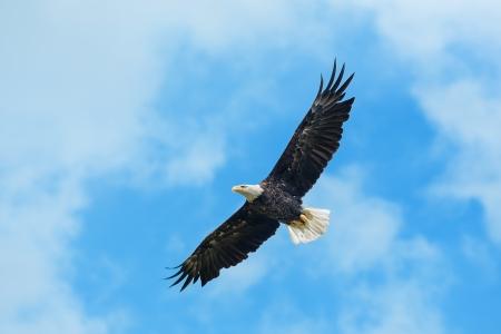 aguila calva: Águila calva americana dando vueltas en el aire Foto de archivo